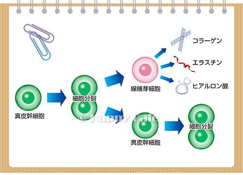 コラーゲンが作られる仕組み