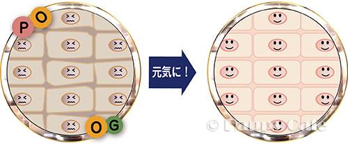 細胞を元気にするPO/OG